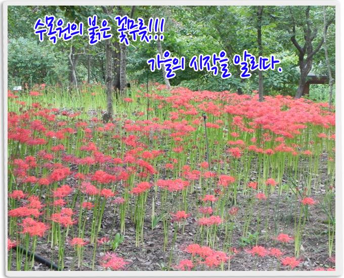 수목원의 붉은 꽃무릇 가을의 시작을 알린다!