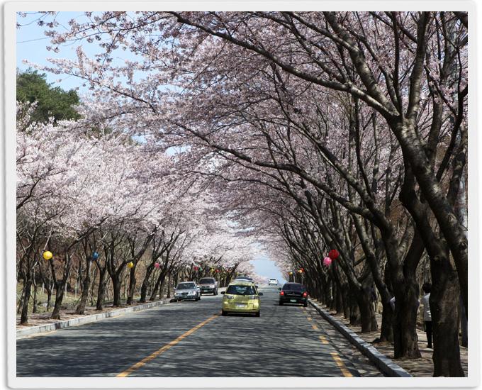 환상적인 팔공산 벚꽃 향연에 흠뻑 빠져보세요!