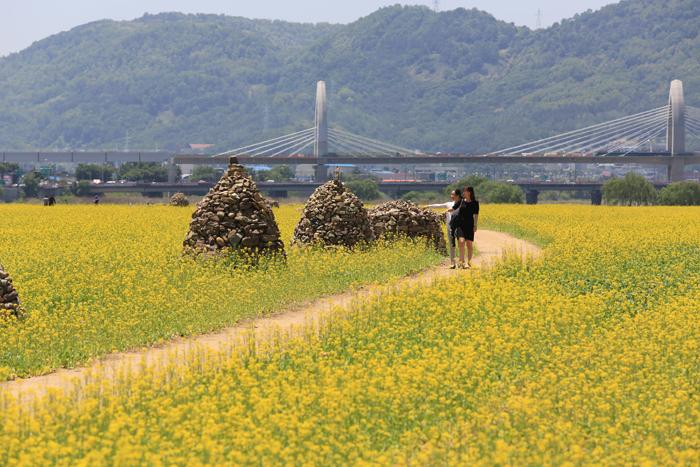 13.5.21 하중도 유채꽃들