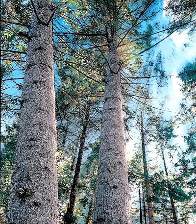 대구시목 전나무