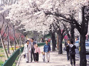 두류공원 벚꽃길