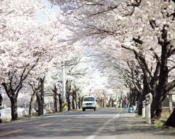용연사 가는 벚꽃길