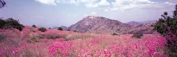 비슬산 참꽃전경