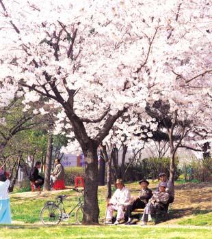 벚꽃과 노인