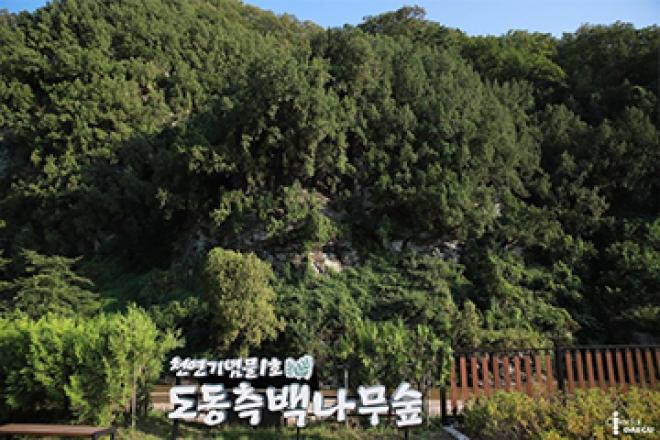 천연기념물 1호! 도동 측백나무숲