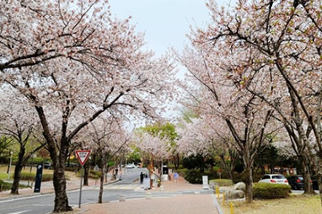 벚꽃이 반겨주던 계명대학교 성서캠퍼스~
