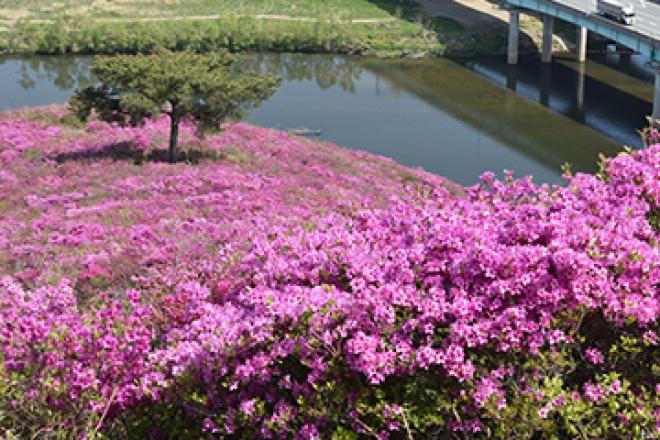 서구 와룡산 일대 봄꽃 명소 영산홍군락지 멋진 장관 구경하세요!