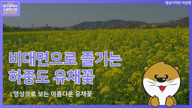 비대면으로 즐기는 하중도 유채꽃~(영상)