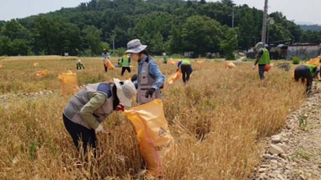 '100% 유기농, 달성습지에서 철새 먹이 보리 수확'