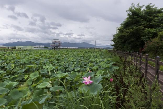 16.7.2 반야월연꽃단지