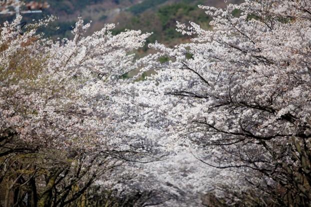 제10회 팔공산 벚꽃축제 내 마음속에 저장~♡