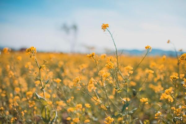 대구 봄나들이 :: 지금 하중도 유채꽃은 절정! 인생샷 찍으러 하중도로 오세요~