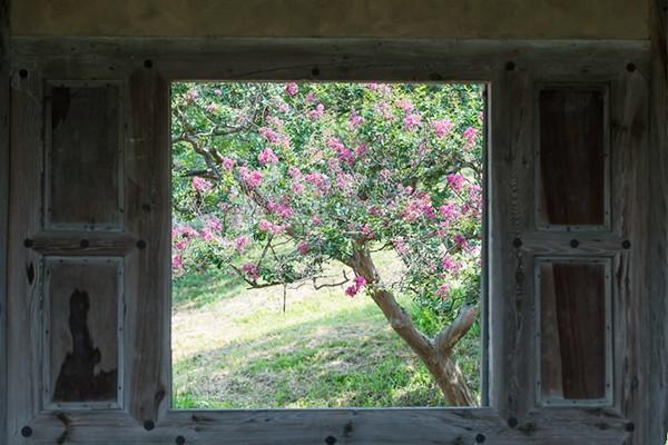고택과 배롱나무의 분홍빛 여름 풍경이 아름다운 달성 하목정 - 대구 가볼만한 곳/대구 배롱나무/ 개화상태