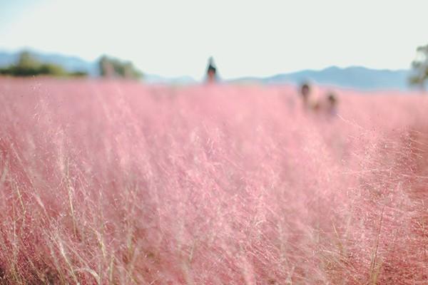 대구 핑크뮬리 발견! 인스타 감성 뿜뿜 인생샷 명소 - 논공삼거리/대구혁신도시 신서중앙공원