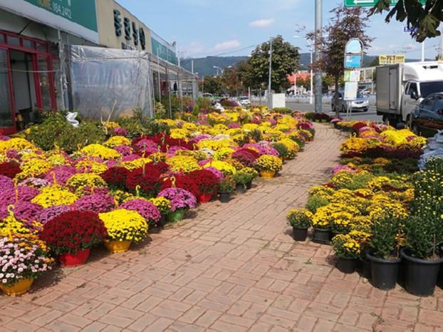 국화향 가득한 불로화훼단지, 가을 꽃 축제 열다