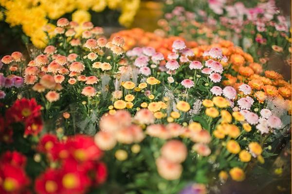 국화향기 가득한 불로화훼단지 가을 꽃 축제로 놀러 오세요~! - 대구국화축제