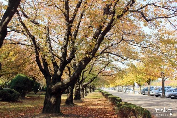 영남대캠퍼스에서 가을을 만나다! 단풍나무 은행나무 아래에서 산책을 즐겨요 - 영남대민속촌/러브로드